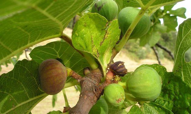 Le foglie di Ficus sono dannose per i conigli?