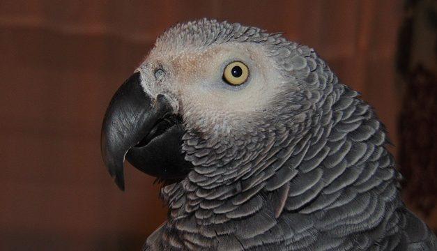Insegnare un pappagallo a parlare