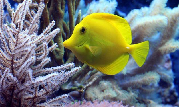 Il pesce rosso perde colore: questa potrebbe essere la ragione