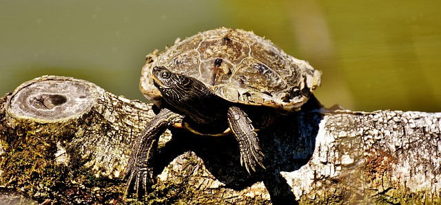 Tartarughe acquatiche acquario marito una breve for Piscina tartarughe