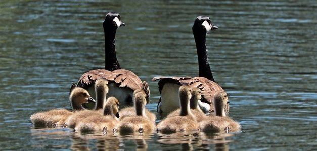 Alimentazione anatra: Suggerimenti per l'alimentazione degli uccelli acquatici