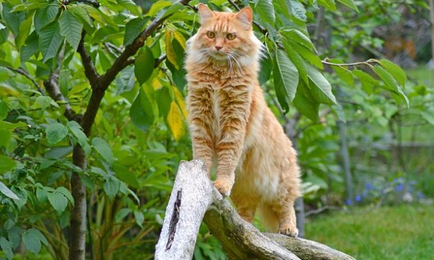 Comprare Maine Coon