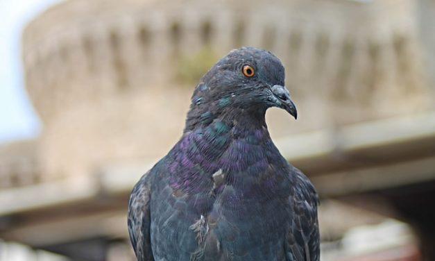 Cosa mangiano i piccioni? Fatti interessanti