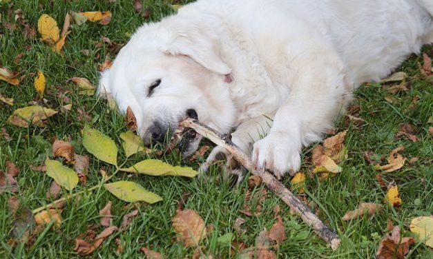 Pizzle ingerito: cosa fare con il cane?