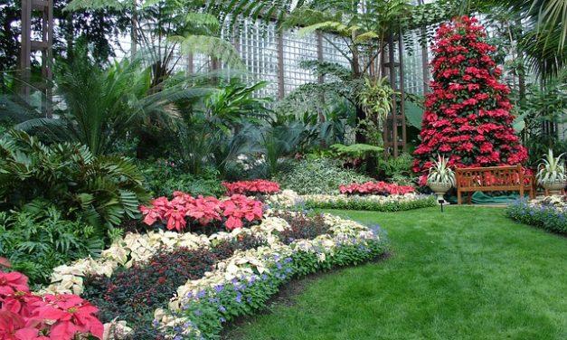 La poinsettia: come farla fiorire tutto l'anno