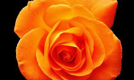 Taglio di fiori di rosa appassiti: Come farlo