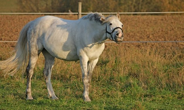 Ghiandole sebacee intasate nei cavalli: cosa fare?