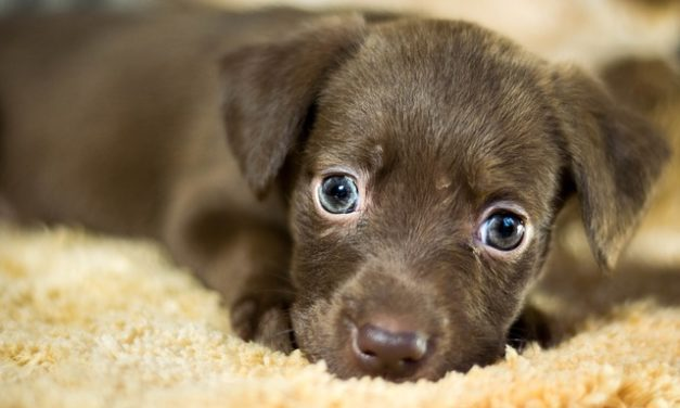 Altezza al garrese nei cani: è così che viene misurata correttamente