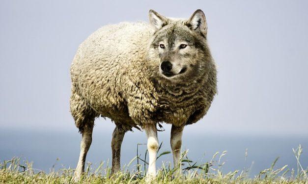 Comprare pecore dal naso nero vallesano: informazioni
