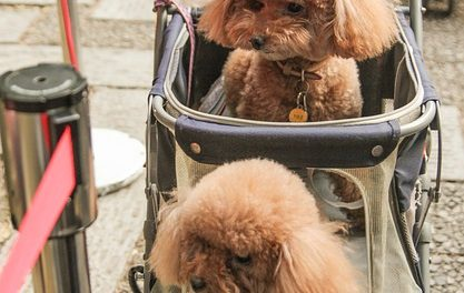 Sintomi della malattia del cane: questo significa tremare