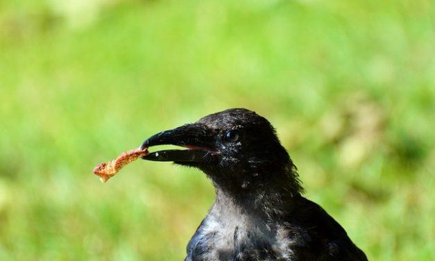 Alimentazione corvi: prestare attenzione a questo aspetto