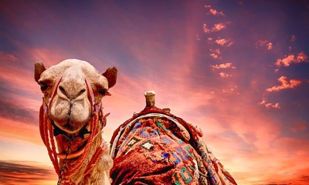 Comprare un cammello: sensato o no?
