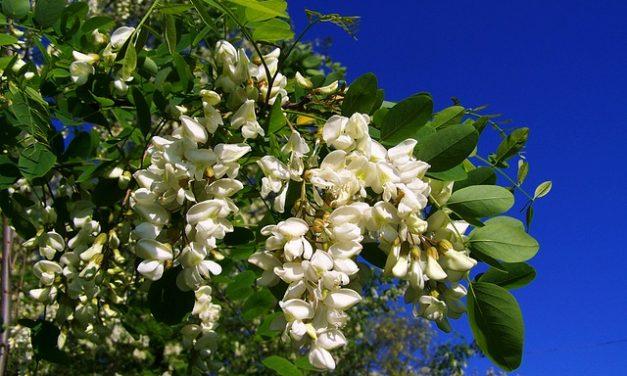 Robinia e Acacia: la differenza