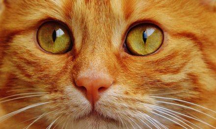 Gatti rossi sempre maschi? Fatti interessanti sull'eredità del colore del mantello dei gatti
