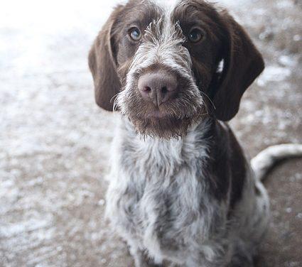 Razza canina senza istinto di caccia: fatti che vale la pena conoscere