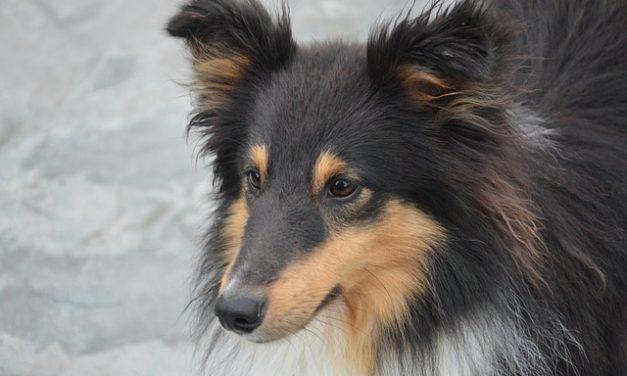 Mini Chihuahuas: Cose da sapere su atteggiamento e maneggio