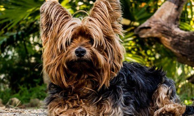 Biewer-Yorkshire-Terrier-Puppies: fatti interessanti per la conservazione e la manipolazione