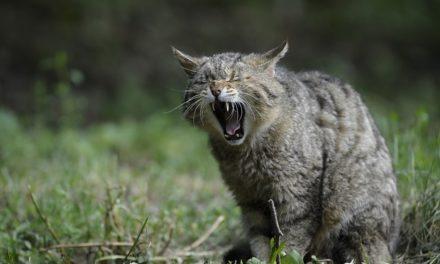 Sostituzione dei denti nei gatti: come sostenere il gatto