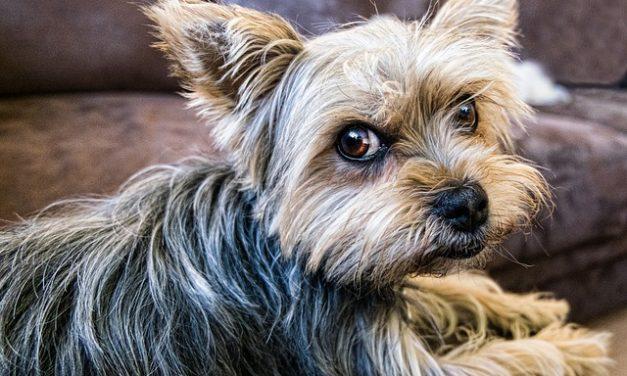 Quanti anni hanno gli Yorkshire Terriers?