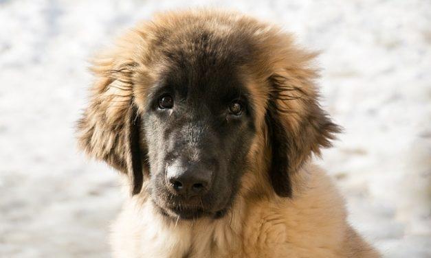 Leonberger-Hund: Panoramica della razza