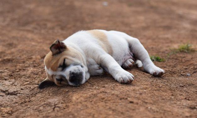 Chihuahuahua cuccioli: Atteggiamento e manipolazione