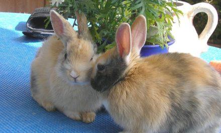 Coniglio femmina coniglio speronato maschio: Informativo