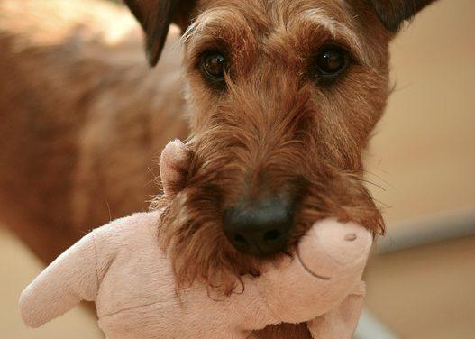Perché i cani odorano all'inguine? Comunicazione con gli amici a quattro zampe semplicemente spiegato