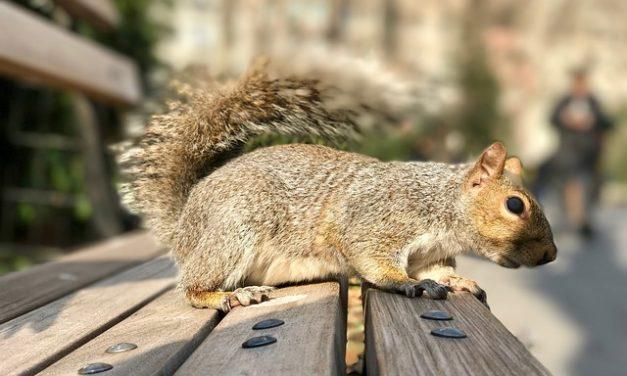 Scimmia teschio come animale domestico: cosa considerare