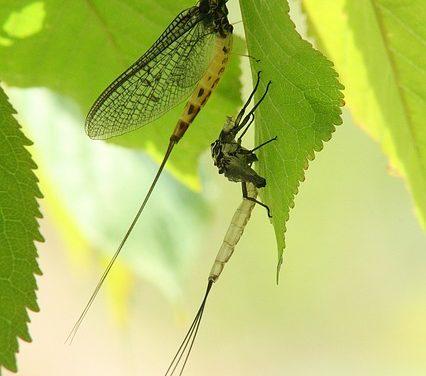 Larve di libellula nell'acquario: cosa fare?