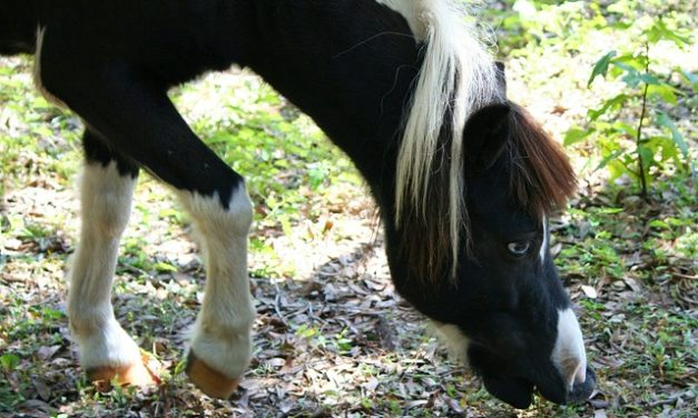 Pony in miniatura: come tenerlo adatto alle specie