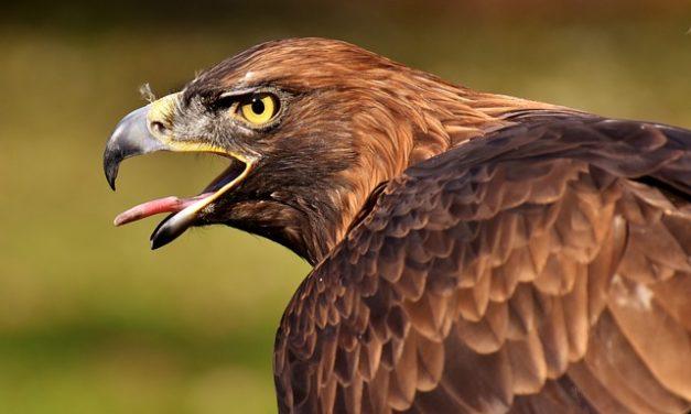 Budgerigars: porre fine alle liti di due uccelli