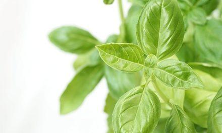 Basilico fiorito: quello che dovreste sapere sulle erbe aromatiche