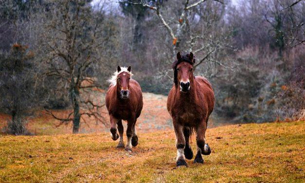 Howrse Edelstein-Horses ottenere: ecco come funziona
