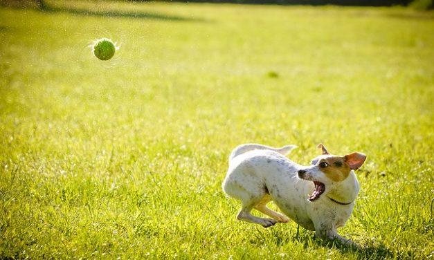 Labrador-Boxer-Puppies: Fatti interessanti sull'atteggiamento e la gestione