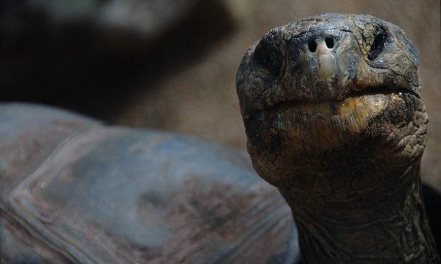 Quanto sono vecchie le tartarughe se allevate in modo adeguato alle specie?