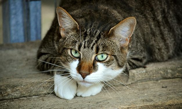 Il gatto strizza l'occhio: cosa significa?