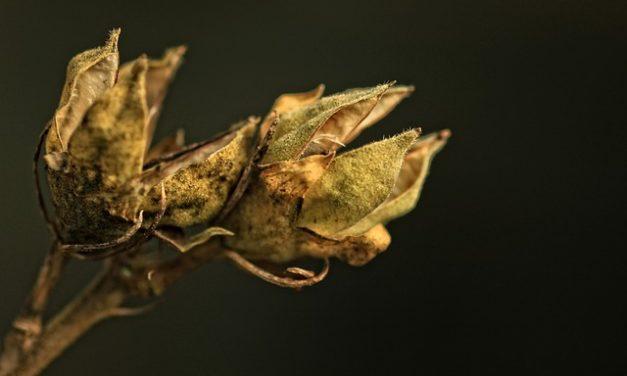Inverno hibiscus duro inverno: è così che funziona la piantagione