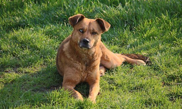 Meutehund: fatti interessanti sull'educazione di Beagle e Co.