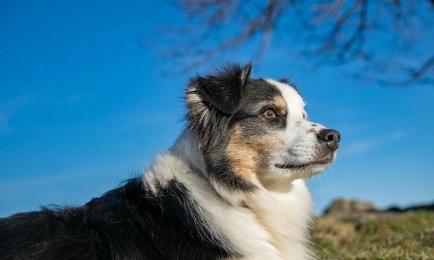 Pastore australiano cuccioli pastore- prendersi cura di quello