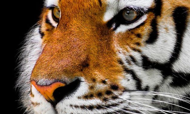 Quando i gatti diventano raucedine – aiutare la tigre tigre casa