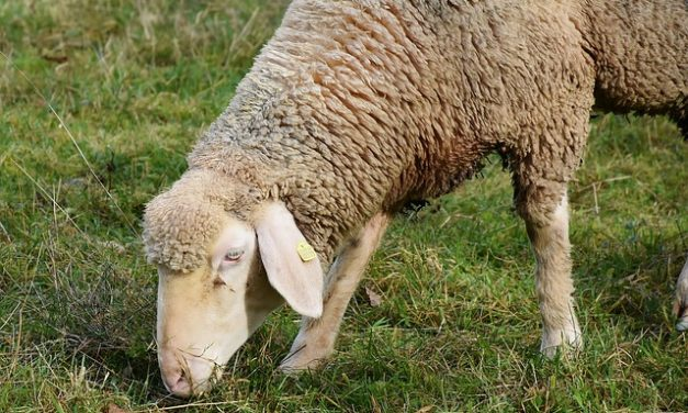 Cosa mangiano le pecore?