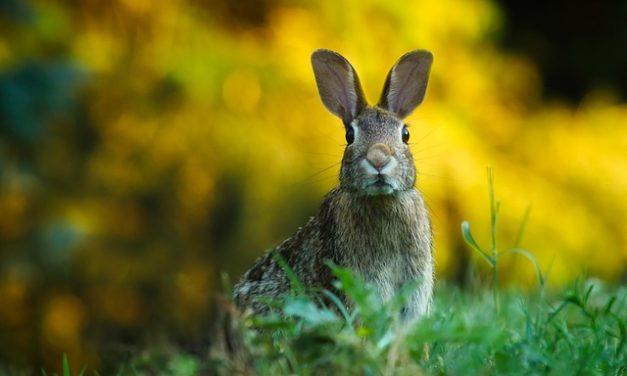 Coniglio starnute tutto il tempo: cosa fare?