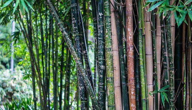 Il bambù ha foglie marroni: cosa fare?