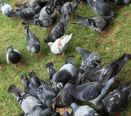 Mettere insieme cibo per i piccioni: è così che funziona senza pericoli