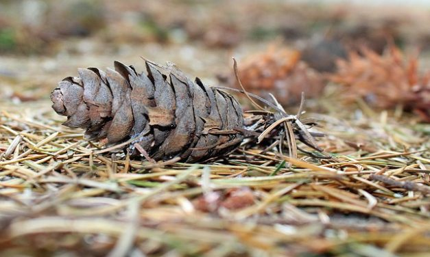 Quando tagliare le conifere: il modo giusto per tagliare la conifera