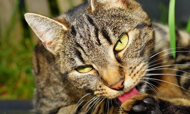 Vuoi mantenere il tuo gatto in fuga? Come comportarsi correttamente