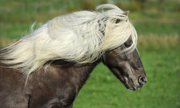 L'acquisto di un cavallo islandese: cosa si dovrebbe sapere sulla razza speciale