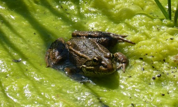 Rimedio casalingo contro le alghe negli stagni da giardino