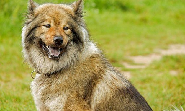 Grannenhaare con il cane: questo è compreso da esso