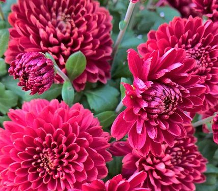 I crisantemi sono velenosi? Fatti interessanti sull'impianto